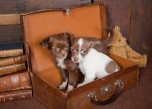 Chihuahuafreunde lizenzfreies stockbild
