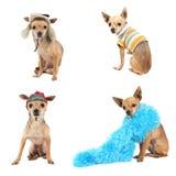 Chihuahuagruppe lizenzfreie stockbilder