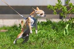 Chihuahuahandtag på koppeln Royaltyfri Bild