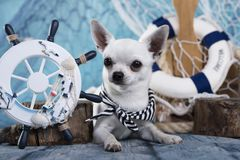 Chihuahuahond royalty-vrije stock afbeelding