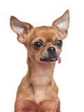 Chihuahuahond Stock Foto