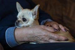 Chihuahuahond in de vrouwenhanden royalty-vrije stock afbeeldingen