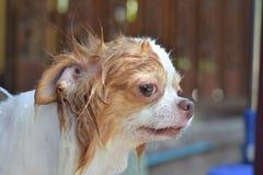 Chihuahuahond die douche nemen Royalty-vrije Stock Afbeeldingen