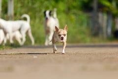 Chihuahuahond die of op weg lopen lopen stock fotografie