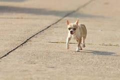 Chihuahuahond die of op weg lopen lopen Stock Afbeelding