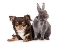 Chihuahuahond met een konijn Royalty-vrije Stock Foto