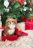 Chihuahuahond in rode giftdoos stock afbeeldingen