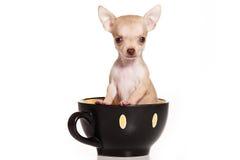 Chihuahuahund stockfotos