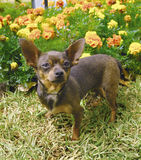 Chihuahuahund 4 lizenzfreies stockfoto