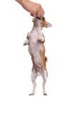 Chihuahuahund Arkivfoton