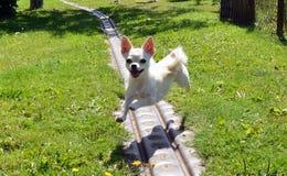 Chihuahuahund lizenzfreies stockfoto