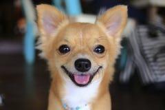 Chihuahuahund Stockbild