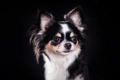 Chihuahuahund Fotografering för Bildbyråer