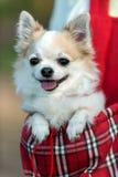 Chihuahuahund bereit zur Reise in der roten Tasche Stockfotos