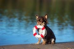Chihuahuahund, der eine Lebenboje hält Stockbild