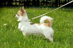 Chihuahuahund, der quadratisch stehen und Warnung Lizenzfreies Stockfoto