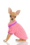 Chihuahuahund in der rosafarbenen Strickjacke Stockfoto