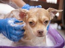 Chihuahuahund, der zu Hause eine Dusche nimmt Lizenzfreie Stockbilder