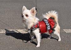 Chihuahuahund in einem Kleid Stockfoto