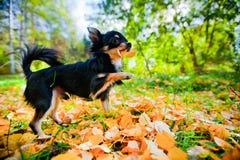 Chihuahuahund in einem Park Lizenzfreie Stockbilder