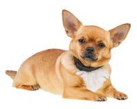 Chihuahuahund i anti-loppakragen som isoleras på vit bakgrund Arkivbild