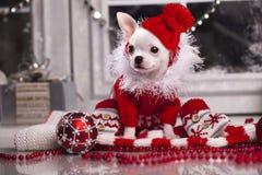 Chihuahuahund i den santa hatten Arkivbilder