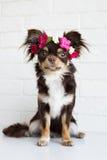 Chihuahuahund i en blommakrona Royaltyfria Bilder