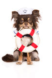Chihuahuahund i en sjömanhatt som rymmer en livboj Royaltyfri Fotografi
