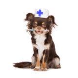 Chihuahuahund i en veterinärhatt som rymmer en injektionsspruta Royaltyfri Bild