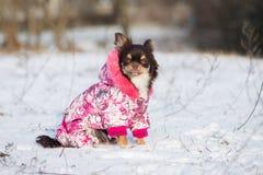 Chihuahuahund i ett vinteromslag Arkivfoto