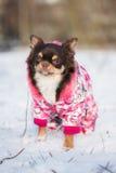 Chihuahuahund i ett vinteromslag Royaltyfria Bilder