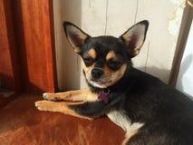 Chihuahuahund im Fenster Lizenzfreies Stockbild