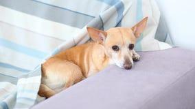 Chihuahuahund liegt auf dem Sofa Haustier, das zu Hause nach einem Weg stillsteht Der Hund wartet auf den Eigentümer, um zu arbei stock footage