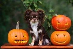 Chihuahuahund med allhelgonaaftonpumpor Royaltyfria Foton