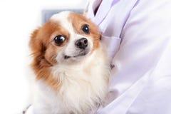 Chihuahuahund med doktorn Royaltyfria Bilder