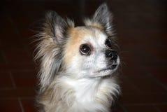 Chihuahuahund mit den großen Augen, zwölf Jahre alt lizenzfreie stockbilder