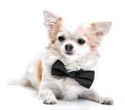 Chihuahuahund mit der schwarzen Fliege lokalisiert auf weißem Hintergrund Stockbild