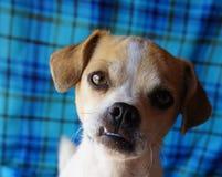 Chihuahuahund mit von unten angetriebenem Kiefer Stockbild