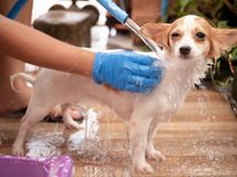Chihuahuahund, nachdem zu Hause eine Dusche genommen worden ist Stockfoto