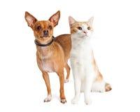 Chihuahuahund och orange och vita Cat Together Royaltyfri Fotografi