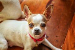 Chihuahuahund på det wood golvet Arkivbild