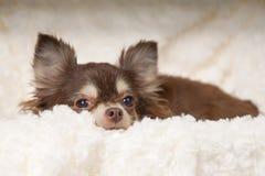 Chihuahuahund arkivbilder