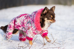 Chihuahuahund som går i ett vinteromslag Arkivbild