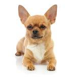 Chihuahuahund som isoleras på vit bakgrund. Arkivbilder