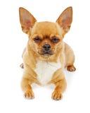 Chihuahuahund som isoleras på vit bakgrund Fotografering för Bildbyråer