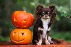 Chihuahuahund som poserar med sned pumpor Arkivfoton