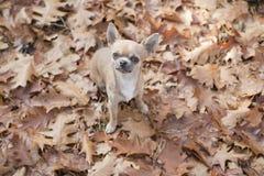 Chihuahuahund som ser upp sedd från en sikt för hög vinkel som sitter mellan höstsidor royaltyfri fotografi