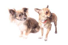 Chihuahuahunde Stockfotografie