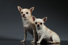 Chihuahuahunde des Porträt-zwei, die auf blauem Hintergrund sitzen Lizenzfreie Stockfotografie