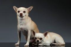 Chihuahuahunde des Porträt-zwei, die auf blauem Hintergrund sitzen Lizenzfreie Stockfotos